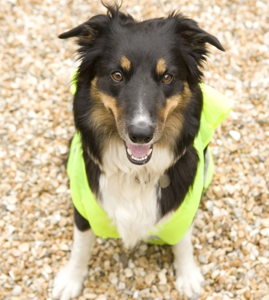 8316339 - border collie wearing hi vis jacket on beach