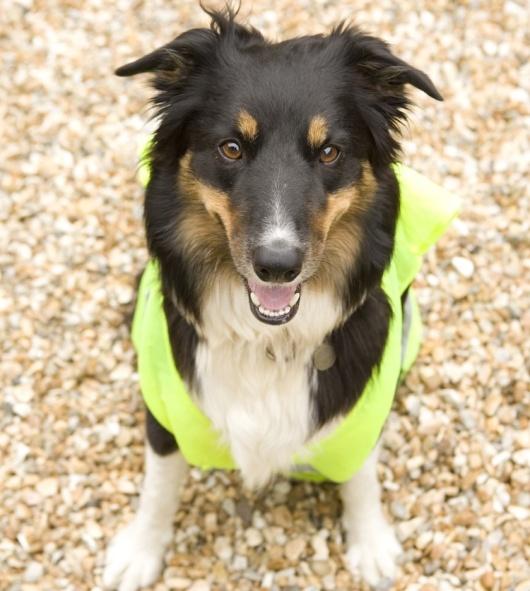8316339 - border collie wearing hi vis jacket on beach