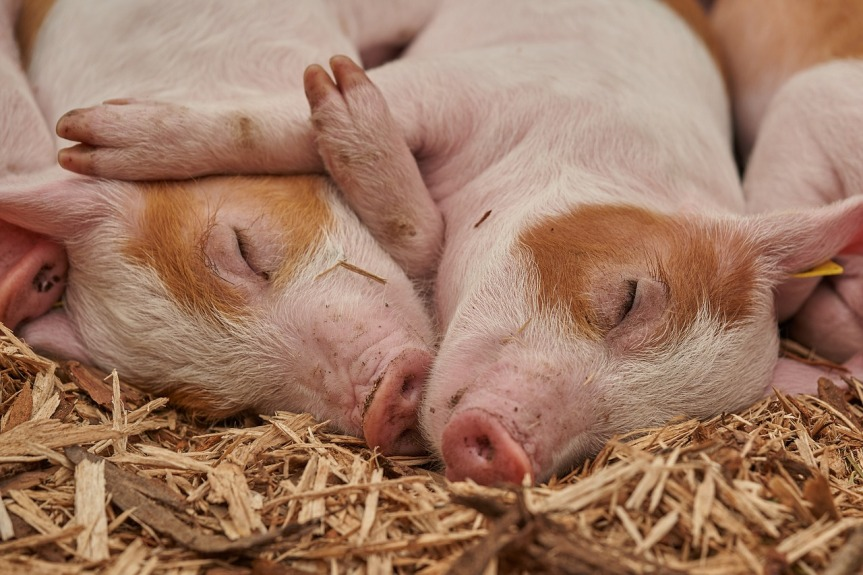 piglet-3386356_1280 Image by Roy Buri from Pixabay